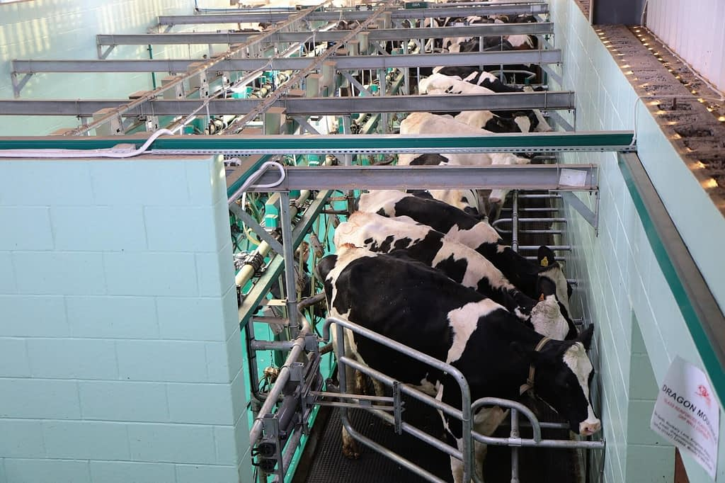 Supports for lean business cows